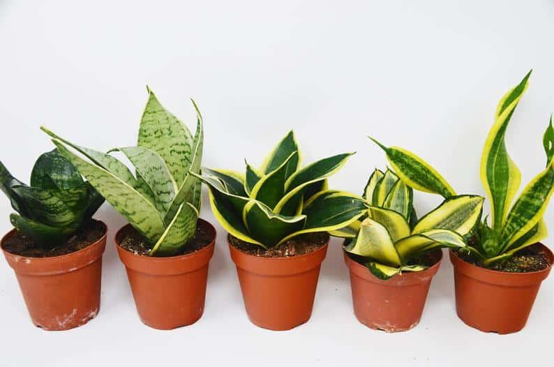 Snake plants